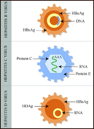 Diagram showing proteins and other elements of hepatitis viruses.
