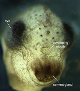Close up of a developing Xenopus.