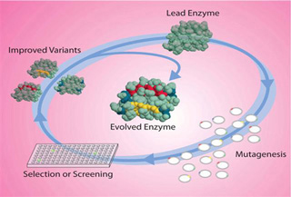 Directed evolution paradigm starts with a lead enzyme, goes through mutagenesis, and then selection, to produce an evolved enzyme.