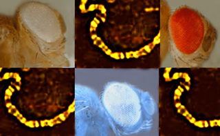 Photo series showing varying eye colors, gene fragments of Drosophila.