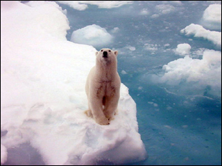 A white polar bear standing on arctic sea ice.