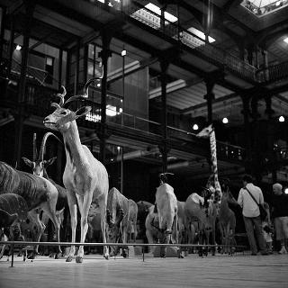 Black and white photo of preserved gazelles, antelopes, giraffes, and other savannah fauna, crowded together behind a low railing in a vast gallery hall.