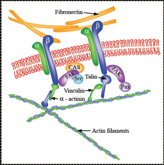 Schematic drawing of the proteins connecting fibronectin and actin filaments.